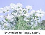 White Cosmos Flower In Field...