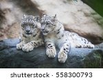 pair of snow leopard with clear ... | Shutterstock . vector #558300793