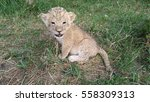 Little Lion On The Grass. The...