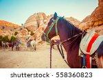 jordanian beautiful horse rests ... | Shutterstock . vector #558360823