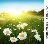 field of daisies blue sky and... | Shutterstock . vector #55838764