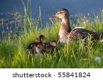 Mother Duck and Brood