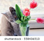 a nice grey cat sniffing and... | Shutterstock . vector #558436513
