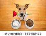 jack russell dog in love on... | Shutterstock . vector #558480433