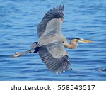 Great Blue Heron Flying Over A...