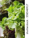 fresh lettue hydroponics for...   Shutterstock . vector #558548917