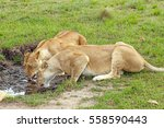 Two Lionesses Drinking Water...