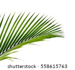 leaves of palm tree isolated on ... | Shutterstock . vector #558615763