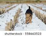 Small photo of puppy airedale running in the snow