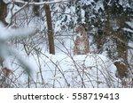 euroasian lynx is resting in...   Shutterstock . vector #558719413