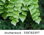 Small photo of Macro of adiantum philippense or maidenhair fern growing in flower garden