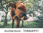cow calf eating from man hand... | Shutterstock . vector #558868957