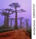 madagascar   baobab avenue | Shutterstock . vector #558929737