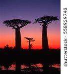 madagascar   baobab avenue | Shutterstock . vector #558929743
