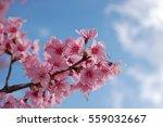 cherry blossom | Shutterstock . vector #559032667