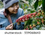 Woman Harvests Arabica Coffee...
