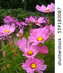 Small photo of macro photo gentle air pink Cosmos flowers, annual and perennial herbaceous plants, amidst the greenery of the garden, as the source for design, photo shop and art print