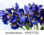 Dark blue irises against the blue sky - stock photo