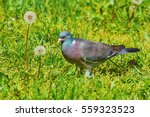 Big Common Wood Pigeon In The...