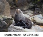 New Zealand Fur Seal   South...
