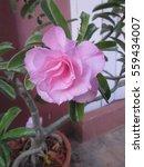 Small photo of Adenium obesum or Impala lily or Mock azalea or Desert rose or Sabi star flower.