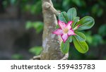 Close Up Of Flower Impala Lily...