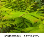 Small photo of Close up of green leaves. Green sprouts of philanthus emblica. Colorful spring background.
