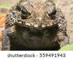 Asian Common Toad Front View...