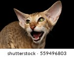 closeup peterbald kitty ginger... | Shutterstock . vector #559496803