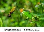 Hemaris Fuciformis Sphingidae...