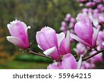 Budding Magnolias blossoms in springtime - stock photo