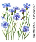 watercolor set of cornflowers ... | Shutterstock . vector #559702807