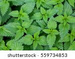Common Nettle  Urtica Dioica