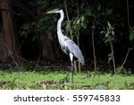 white necked heron standing in... | Shutterstock . vector #559745833