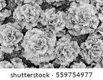 lettuce field   Shutterstock . vector #559754977