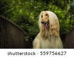 Small photo of Afghan dog