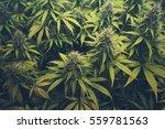 Cannabis Bud   Marihuana Plants