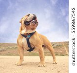 a bulldog in a dog park with a... | Shutterstock . vector #559867543
