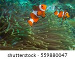 clownfishes in anemones on the... | Shutterstock . vector #559880047