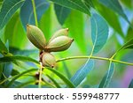 Green Pecan Nuts On Tree