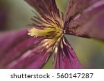 Stamens On A Purple Flower...