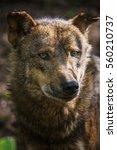 Iberian Wolf  Canis Lupus...