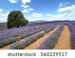 lavender field with tree and... | Shutterstock . vector #560229517