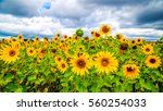 Field Of Sunflowers Before Storm