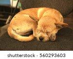 Cute Asian Dog Sleeping On...