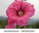 Small photo of close up of bristly hollyhock large flower (alcea setosa)