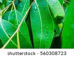 closeup of wet eucalyptus... | Shutterstock . vector #560308723