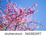 cherry blossom pink with blue... | Shutterstock . vector #560382097