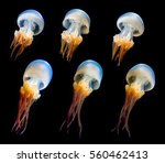 Jellyfish Isolated On Black...