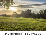 sunset over cows in field | Shutterstock . vector #560496193
